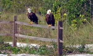 Bald Eagles at Cayo Costa State Park - 2