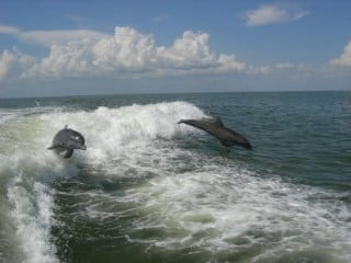 Dolphin following boat in Southwest Florida near Cape Coral