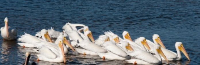 While Pelicans in Pine Island Sound - Near Cape Coral Waterfront Homes
