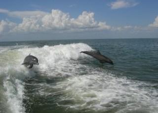 Dolphin following boat-320w