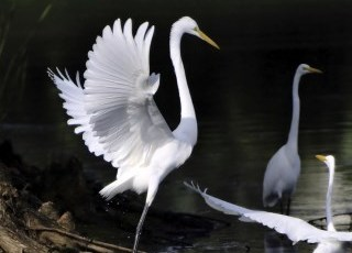white herons-cropped-320w