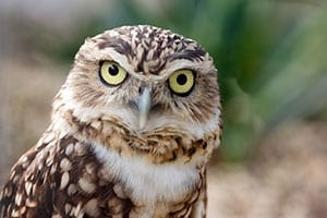 Burrowing Owl Fast Facts